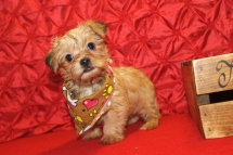 Einstein Male CKC Shorkie $1750 Just came back SO PUPPY SPECIAL $1500 AVAILABLE NOW