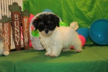 Gino Male CKC Havanese $1800 BUT WAIT PUPPY SPECIAL $1250 Ready 2/16 With all his vaccines SOLD MY NEW HOME LONGWOOD, FL