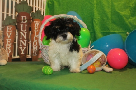 Gizmo MALE CKC Havanese $1800 BUT WAIT SOLD SPECIAL $999 READY NOW HAS DEPOSIT MY NEW HOME YULEE, FL