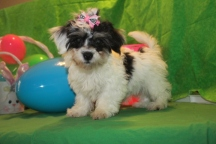 Gracie Female Female CKC Havanese $1800 BUT WAIT EASTER SPECIAL $1500 Ready 2/16 SOLD MY NEW HOME JAX, FL