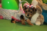 Half Pint Female CKC T-cup Yorkie $2000 Ready 4/10 SOLD MY NEW HOME JACKSONVILLE, FL