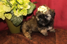 Jetta Female CKC Shihpoo $1750 Ready 5/21 SOLD MY NEW HOME ANCHORAGE, AK 7W2D 1.14lbs
