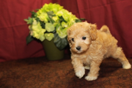 Jolene Female Maltipoo $1750 Ready 6/3SOLD MY NEW HOME ORLANDO, FL 1.15lbs 5W3D