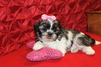 Kia Female CKC Shihpoo $1750 Ready 5/21 AVAILABLE 5W4D 1.11lbs
