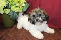 Mickey Male CKC Havashu $1750 Ready 5/11 SOLD MY NEW HOME JAX, FL 2.11 LBS 8W5D