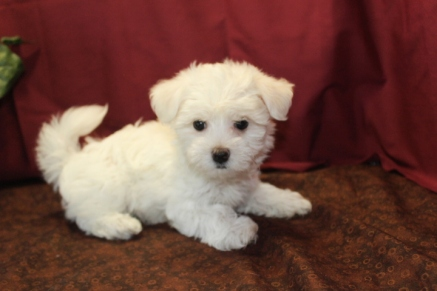 Phoebe Female CKC Havamalt $1750 Ready 5/21 SOLD MY NEW HOME MOUNTAIN LAKES, NJ 2.6 lbs 7W3D