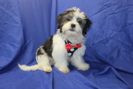 Reggie Male CKC Malshi $1750 PUPPY SPECIAL $1250 WITH ALL HIS VACCINES & RABIES Ready 6/3 23 SOLD MY NEW HOME IS PALM COAST, FL 7 lbs 19 Wks