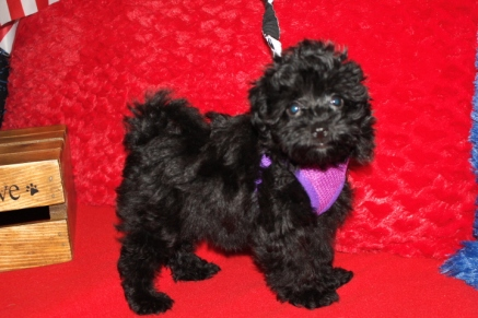 Bella Female CKC Havapoo $1750 Puppy Special $999 Ready 6/3 SOLD MY NEW HOME HILLIARD, FL 10W2D 2.3LBS