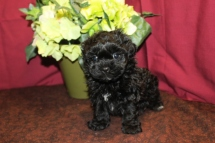 Catrina Female CKC Morkipoo $1750 Ready 6/3 SOLD MY NEW HOME HOBOKEN, NJ 5W3D 2.1 LBS Lbs