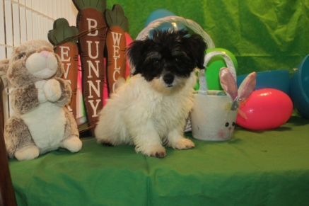 Gino Male CKC Havanese $1800 BUT WAIT PUPPY SPECIAL $1250 Ready 2/16 SOLD MY NEW HOME LONGWOOD, FL
