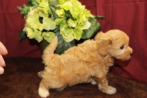 Jolene Female Maltipoo $1750 Ready 6/3 SOLD MY NEW HOME ORLANDO, FL 1.15lbs 5W3D