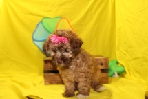 Julianna Female Maltipoo $1750 Ready 6/3 3W6D 1.6 lbs SOLD MY NEW HOME JACKSONVILLE, FL 8W2D 2.3LBS