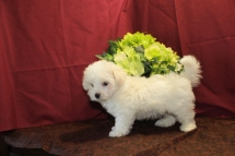 Parker Male CKC Havamalt $1750 BUT WAIT PUPPY SPECIAL $1500 Ready 5/21 AVAILABLE 2.9 Lbs 7W3D