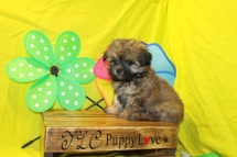 Ramsay Male CKC Malshi $1750 Ready 6/3 SOLD MY NEW HOME JACKSONVILLE, FL 8W2D 2.4Lbs