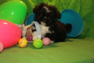Tux Male Imperial CKC Shih Tzu $1750 BUT WAIT PUPPY SPECIAL $999 Ready 3/10HAS DEPOSIT MY NEW HOME JACKSONVILLE, FL
