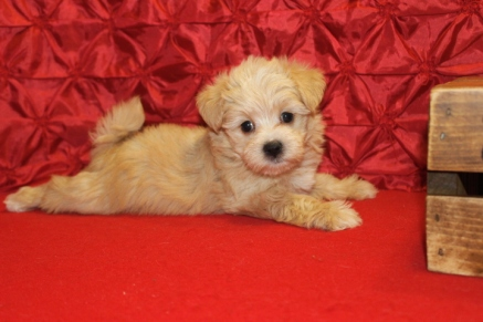 Bunny Female CKC Maltipoo $1750 Ready 5/15 SOLD MY NEW HOME JACKSONVILLE, FL 6W2D 2.1 lbs