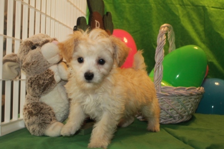 Jimminy Cricket Male CKC Yorkipoo $2000 EASTER SPECIAL $1500 Ready 3/2 MY NEW HOME JACKSONVILLE, FL SOLD