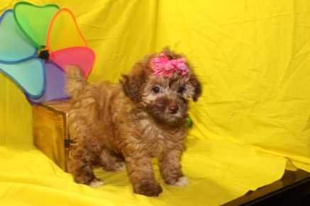 Julianna Female Maltipoo $1750 Ready 6/3 3W6D 1.6 lbs SOLD JACKSONVILLE, FL 8W2D 2.3LBS