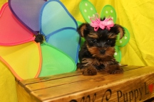 Love Bug Female CKC T-Cup Yorkie SOLD MY NEW HOME JACKSONVILLE, FL ready 6/9 7W4D 1.1 Lbs