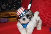 Mr. Bojangles Male CKC Malshipoo $1750 Ready 6/20 SOLD MY NEW HOME CALLAHAN, FL 7W5D 1.12LBS