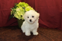 Parker Male CKC Havamalt $1750 BUT WAIT PUPPY SPECIAL $1500 Ready 5/21 SOLD MY NEW HOME JACKSONVILLE, FL 2.9 Lbs 7W3D