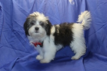 Reggie Male CKC Malshi $1750 PUPPY SPECIAL $1250 WITH ALL HIS VACCINES & RABIES Ready 6/3 SOLD MY NEW HOME IS PALM COAST, FL 7 lbs 19 Wks