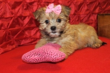 Tesia Female CKC Shorkie $1750 Ready 5/6 SOLD MY NEW HOME ROYAL PALM BEACH, FL 7W4D 2.7 lbs