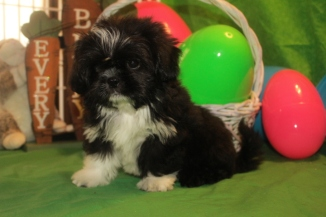 Tux Male Imperial CKC Shih Tzu $1750 BUT WAIT PUPPY SPECIAL $999 Ready 3/10 SOLD MY NEW HOME JACKSONVILLE, FL