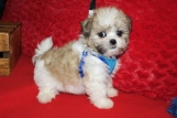 Bouncer Male CKC Malshipoo $1750 Ready 6/20 SOLD MY NEW HOME CALLAHAN, FL 7W5D 2 LBS
