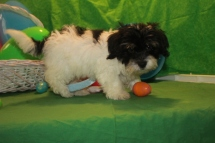 Gizmo MALE CKC Havanese $1800 BUT WAIT EASTER SPECIAL $999 READY NOW SOLD MY NEW HOME YULEE, FL