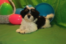 Mister Male CKC Havanese $1800 BUT WAIT PUPPY SPECIAL $1250 Ready 2/23 SOLD MY NEW HOME HIAWASSEE, GA