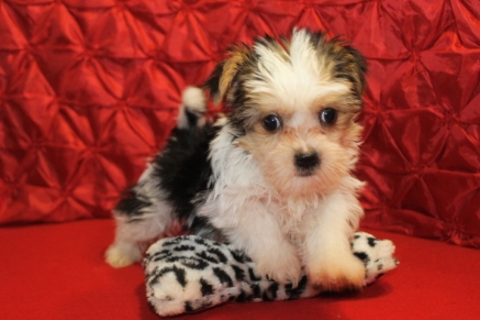 Shakespeare Male CKC Shorkie $1750 Ready 5/6 AVAILABLE 7W4D 2.1 lbs
