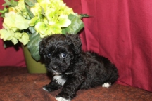 Charmer Male CKC Morkipoo $1750 Ready 6/3 SOLD MY NEW HOME JACKSONVILLE, FL 5W3D 2 Lbs
