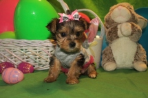 Half Pint Female CKC T-cup Yorkie $2000 Ready 4/10 HAS DEPOSIT MY NEW HOME JACKSONVILLE, FL