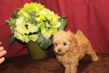 Jade Female Maltipoo $1750 Ready 6/3 SOLD MY NEW HOME WINTER PARK, FL 1.2 Lbs 5W3D