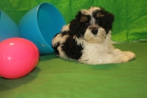 Mister Male CKC Havanese $1800 BUT WAIT PUPPY SPECIAL $1250 Ready 2/23 HAS DEPOSIT MY NEW HOME HIAWASSEE, GA