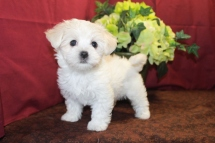 Peyton Female CKC Havamalt $1750 Ready 5/19 SOLD MY NEW HOME JACKSONVILLE, FL 1.14 Lbs 7W3D