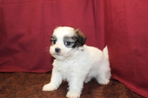 Romeo Male CKC Malshi $1750 Ready 6/3 SOLD MY NEW HOME JACKSONVILLE, FL 1.11 Lbs 5W2D