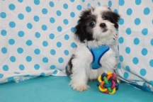 Reggie Male CKC Malshi $1750 PUPPY SPECIAL $1250 WITH ALL HIS VACCINES & RABIES Ready 6/3 AVAILABLE 4.15 LBS 13 WKS