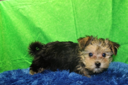 Ashley Wilkes Male CKC Havashire $1750 Ready 7/15 AVAILABLE 2.7 LBS 9W3D