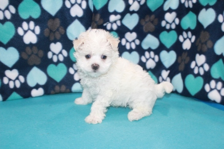 Fluffy Male CKC Maltese $1750 Ready 7/24 SOLD MY NEW HOME COLUMBIA, SC 2.3 lbs 5W4D