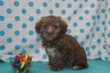 Honey Female CKC ,Morkipoo $1750 Ready 7/14 HAS DEPOSIT MY NEW HOME JACKSONVILLE, FL 2.14LBS 7W1D