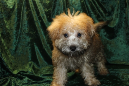 Jammer Male CKC ,Morkipoo $1750 PUPPY SPECIAL $1500 Ready 7/14 SOLD MY NEW HOME JACKSONVILLE, FL 5.8 LBS 15W4D