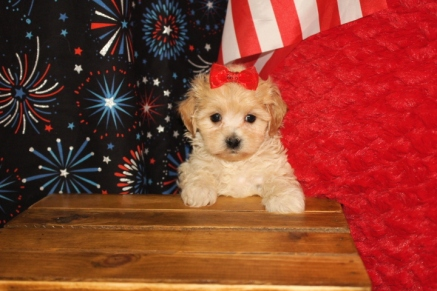 Jazzy Female CKC Havapoo $1750 Ready 7/1 SOLD MY NEW HOME ST JOHNS, FL 6W2D 1.15Lbs