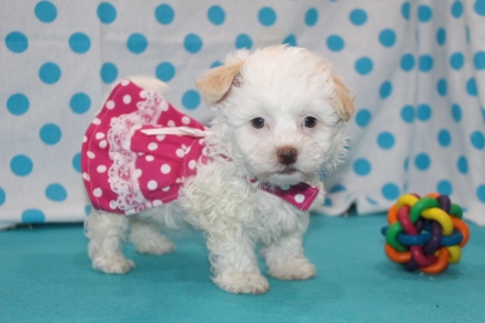 Little Angel Female CKC Havamalt $1750 Ready 7/15 SOLD MY NEW HOME JACKSONVILLE, FL 2.1 Lbs 8 Wks