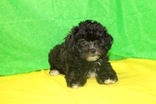 Pooh Bear Male CKC Shihpoo $1750 Ready 7/17 SOLD MY NEW HOME ST JOHNS, FL 2.14 LBS 9W2D