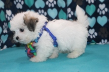Radar Male CKC Havashu $1750 BUT WAIT SPECIAL $1500 Ready 7/6 SOLD MY NEW HOME JACKSONVILLE, FL 2.13 LBS 8W1D