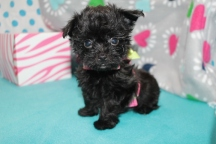 Rainy Female T-Cup CKC Yorkipoo $2000 Ready 7/13 SOLD MY NEW HOME JOSHUA TX 1.5 WKS 8 WKS