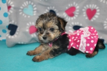 Scarlett O'Hara Female CKC Havashire $1750 Ready 7/15 SOLD MY NEW HOME PALM HARBOR, FL 1.10 LBS 6WKS