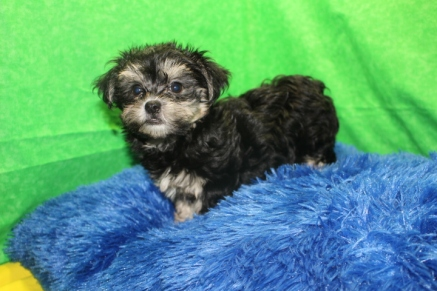 Sebastian Male CKC Havanese $1750 Ready 7/15 SOLD MY NEW HOME NEPTUNE BCH, FL 2.2 LBS 9W3D